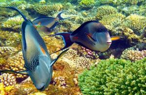 сохал, опасные рыбы, Красное море, Египет, Red Sea, Egypt