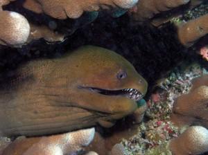 Gymnothorax javanicus, Красное море, Египет, Red Sea, опасные рыбы