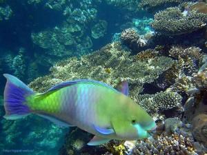 Рыбка кушающая живые кораллы, скаридовые, Scaridae, Египет, Red Sea