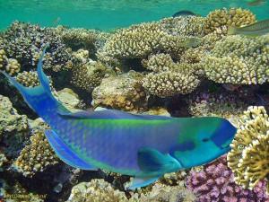 Cetoscarus bicolor, скаровые, Millepora dichotoma, Египет, Red Sea, , рыбка, кушающая живые кораллы