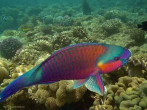 Рыба попугай, Красное море, Египет, Red Sea, скаридовые