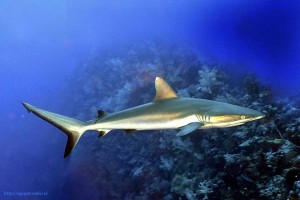 grey reef shark, Carcharhinus amblyrhynchos, Египет, Red Sea, акулы Египта, опасные рыбы