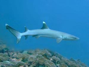 whitetip reef shark, Triaenodon obesus, Египет, Red Sea, акулы Египта, опасные рыбы