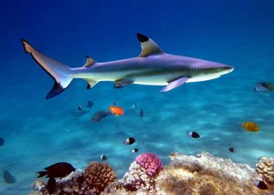 blacktip reef shark, Carcharhinus melanopterus, Red Sea, Egypt, акулы Египта, опасные рыбы