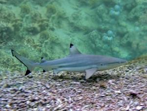 blacktip reef shark, Красное море, Red Sea, Egypt, опасные рыбы, акулы Египта