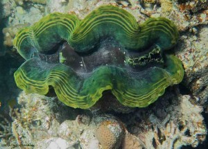 Tridacna elongata, двустворчатые моллюски, Красное море, Египет, Sharm