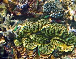Tridacna elongata, двустворчатые моллюски, Красное море, Египет, Sharm El Sheikh