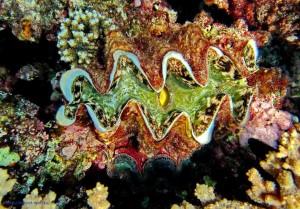 Tridacna squamosa, двустворчатый моллюск, Красное море, Египет, Safaga