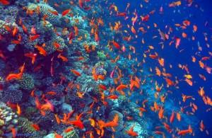антиасы, курорт Дахаб, риф, Egypt, АРЕ, Египет, Red Sea, Синайский полуостров