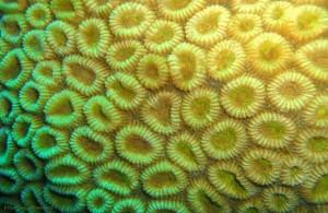 Favia favus, жёсткие кораллы Красного моря, Египет, подводная жизнь, Red Sea, АРЕ, Миср