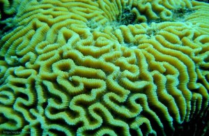 Фригийский мозговик, Красное море, коралловый риф, подводный мир, Egypt