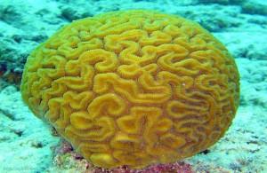 Diploria labyrinthiformis, кораллы Красного моря, Египет, подводная жизнь, Red Sea, АРЕ, Миср