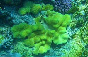 мягкий коралл, Sarcophyton, подводная жизнь, Red Sea, кораллы Красного моря, Египет, АРЕ, Миср