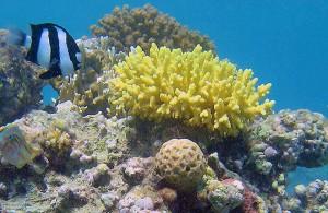 Acropora arabensis Hodgson, кораллы Красного моря, Египет, Red Sea, подводная жизнь, АРЕ, Миср