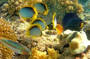 коралловый риф, подводный мир, Taba, Sinai, АРЕ, Миср, Akaba, Синайский полуостров