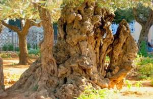 Гефсиманский сад, древние маслины, Израиль, экскурсии, религия, Ierusalim