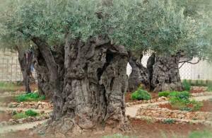 Гефсиманский сад, Израиль, Ierusalim, экскурсии, религия, древние маслины