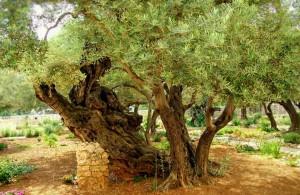 Гефсиманский сад, экскурсии, оливковые деревья, религия, Ierusalim, Израиль