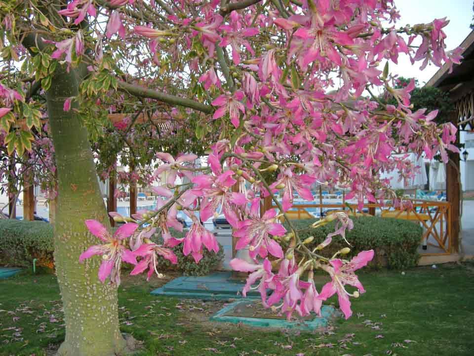 цветущее лилиевое дерево, отель Мелиа Синай, отзыв об отдыхе, курорт Шарм, Египет, впечатления,