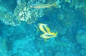 подводный мир, отдых в феврале, отель Melia Sinai 5, Шарм Эль Шейх, Egypt