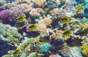 коралловый риф, отель Мелиа Синай, отзыв об отдыхе, курорт Шарм, Египет, отдых в Египте, Egypt, Red Sea