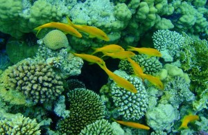рыбы, кораллы, Красное море, мыс между отелями Melia Sinai и Melia Sharm 5*, пляж Шарм Эль Шейх