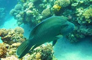Губан Маори, коралловый риф отеля Melia Sinai 5*, Шарм Эль Шейх, отдых в Египте, Egypt