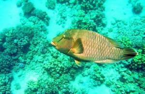 Рыба Наполеон, отель Мелиа Синай 5*, отзыв об отдыхе, курорт Шарм, Египет, Красное море, впечатления