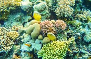 фауна, кораллы, Красное море, мыс между отелями Melia Sinai и Melia Sharm 5*, пляж Шарм Эль Шейх