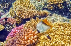 рыба бабочка, коралловый риф, отель Мелиа Синай, Шарм, рельеф с плавным уклоном, Egypt, Red Sea