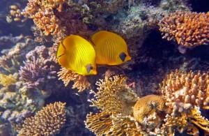 кораллы и рыбы, Красное море, мыс между отелями Melia Sinai и Melia Sharm 5*, Egypt, Red Sea