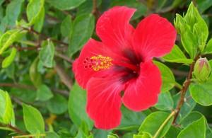 Красный чай, гибискус, суданская роза, rose of china, каркадэ, red sorrel, karkade, shoe flower, каркеде