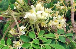 Чудо-дерево моринга масличная, способность возвращать молодость коже, разглаживает морщины, стимулирует обменные процессы, противопоказаний нет