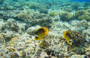подводный мир, коралловый риф отеля Melia Sinai, бухта Рас Назрани, Шарм Эль Шейх
