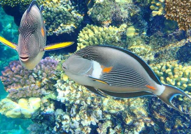Аравийский хирург миролюбивая рыба, но ядовитые скальпели всегда с собой