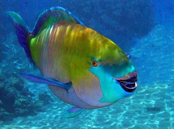 Рыба попугай. Безобидная красотка Красного моря кушает кораллы