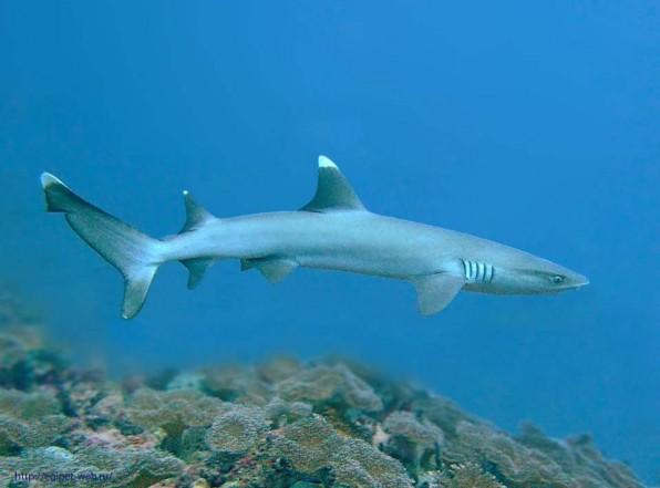Белоперая рифовая акула не агрессивна, но лучше соблюдать осторожность