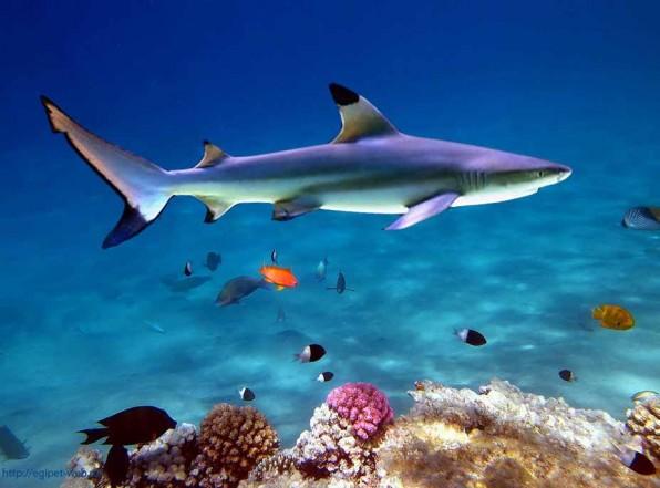 Рифовые акулы потенциально опасны, но серьезной угрозы не представляют