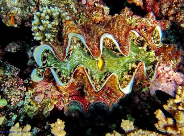 Тридакна. Самый большой двустворчатый моллюск убийца