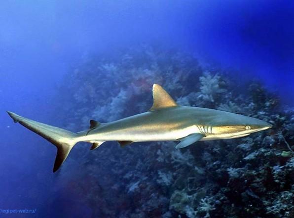 Серая рифовая акула любознательна и опасна