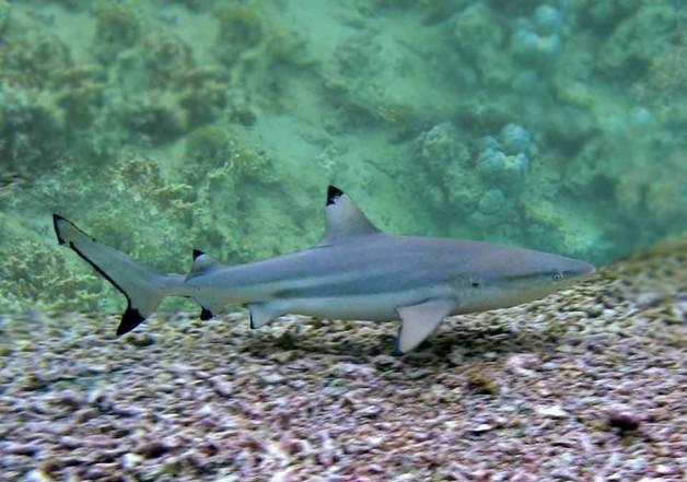 Черноперая рифовая акула не опасна, но за ласты покусать может